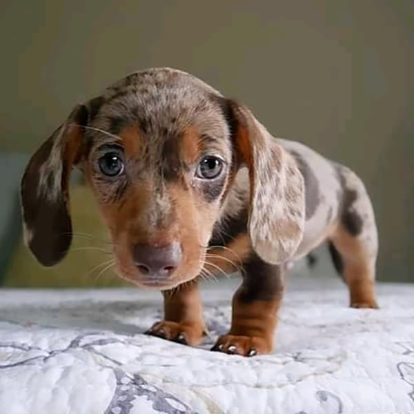 dachshund puppies for sale in south carolina
