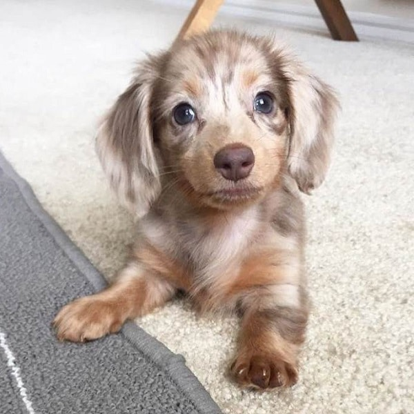 dachshund puppies near me for sale