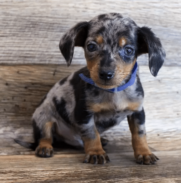 dachshund puppies ohio for sale