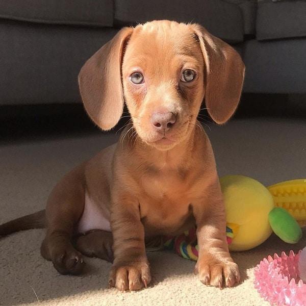 dachshund puppy for sale near me