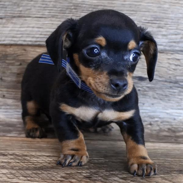 dachshund puppy for sale texas