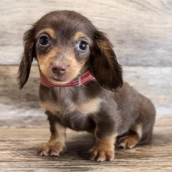 dapple dachshund puppies for sale
