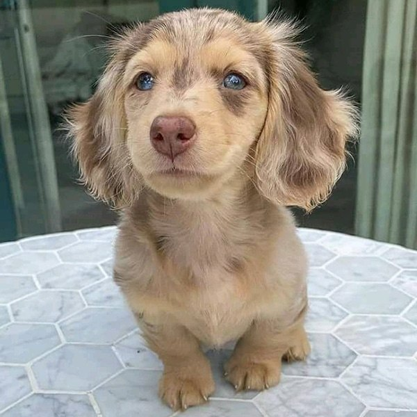mini long haired dachshund puppies for sale