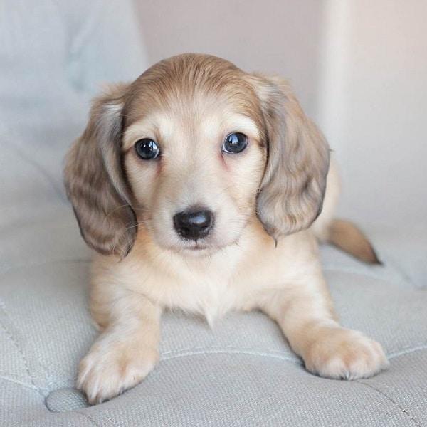 miniature dachshund puppy for sale